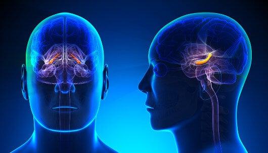 hipokamp w mózgu