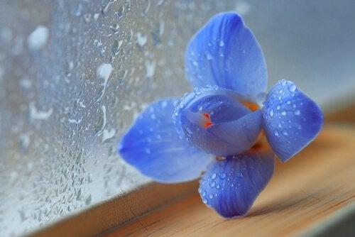 Niebieski kwiat na parapecie