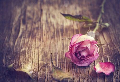 róża na stole