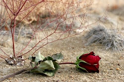 Róża na ziemi