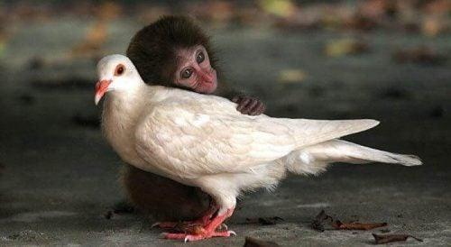 Małpka głaszcze gołębia