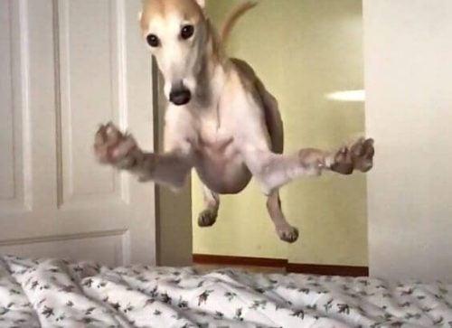 Pies wskakujący do łóżka
