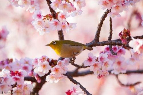 Ptak na drzewie kwitnącej wiśni