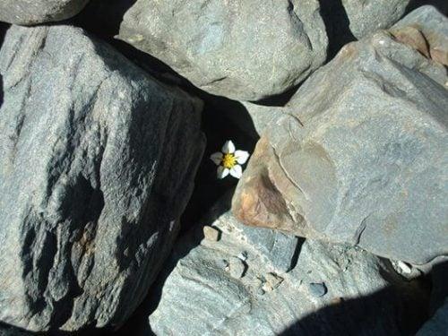 Biały kwiat wśród skał