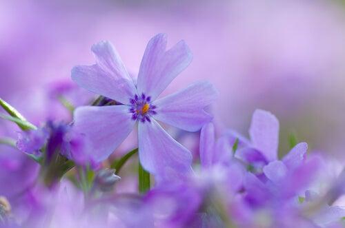 Fioletowy kwiatek.