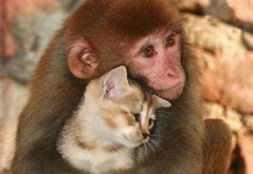 Zwierzęta - małpa przytula kota