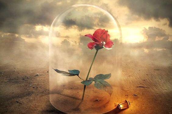 róża pod kloszem