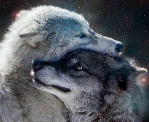 pieszczota wilków