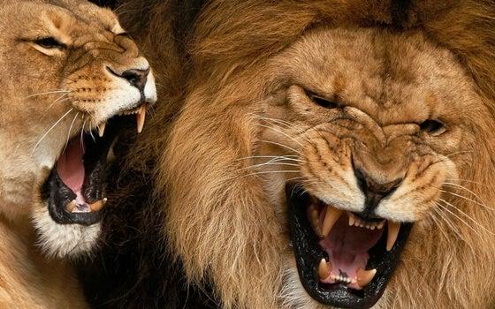 Krzyk w świecie zwierząt - ryczące lwy.