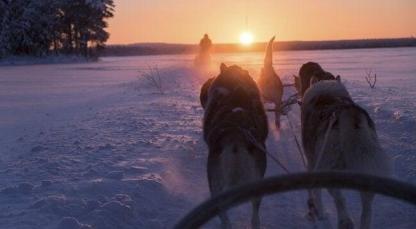 Finlandia - zaprzęg psów.