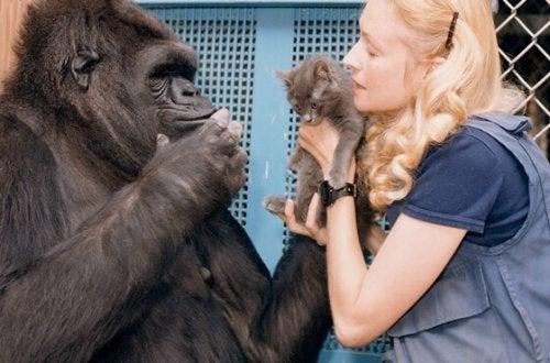 Koko- najmądrzejsza gorylica na świecie i jej historia