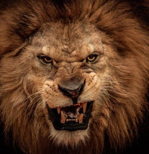 Ryczący lew.