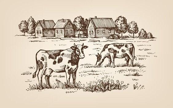 krowy na polu