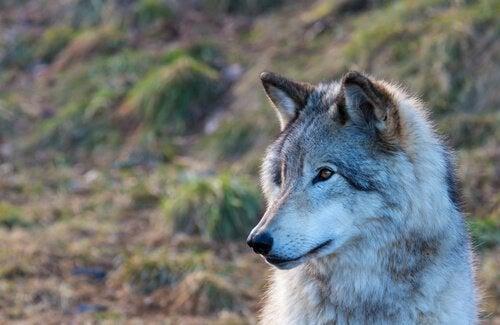 Młody wilk.