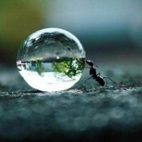 Wytrwałość - mrówka toczy kroplę wody.