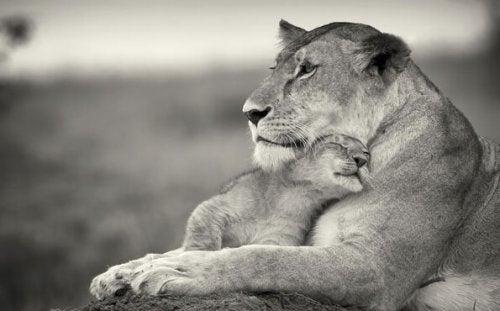 Lwica z lwiątkiem.