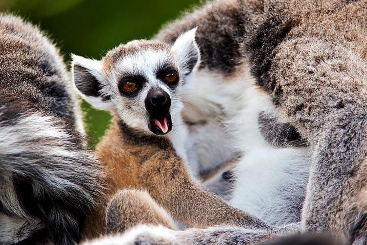 Ziewający lemur
