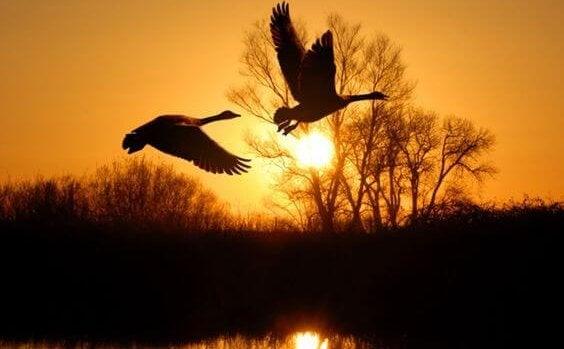 Lecące kaczki.