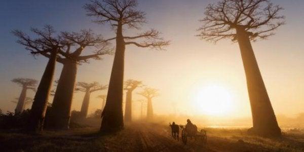 Drzewa baobabu.