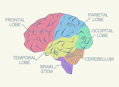 Budowa mózgu