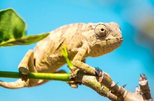 Efekt kameleona - czy wiesz, na czym on polega?