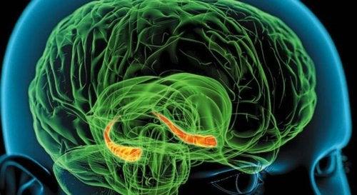 Hipokamp w mózgu.