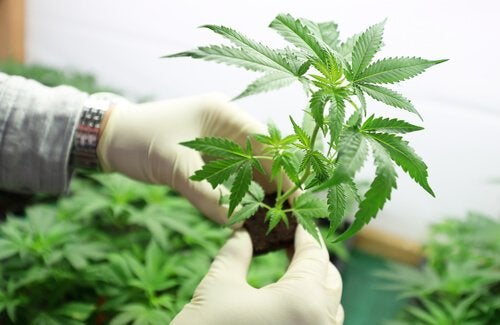 Marihuana w laboratorium