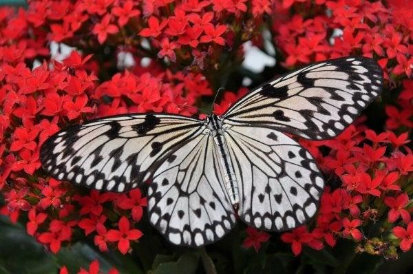 Motyl na tle czerwonych kwiatów.
