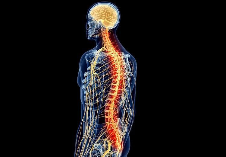 rdzeń kręgowy
