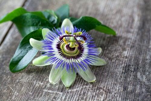 Passiflora - męczennica