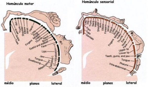 Homunkulus motoryczny i sensoryczny.