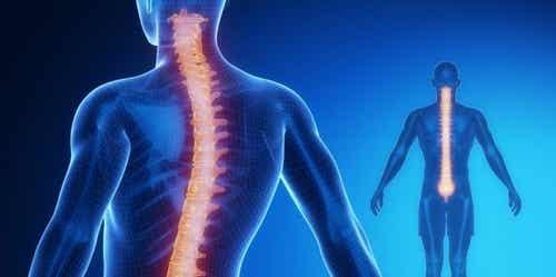 Rdzeń kręgowy: anatomia i fizjologia