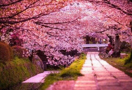 droga pełna kwiatu wiśni