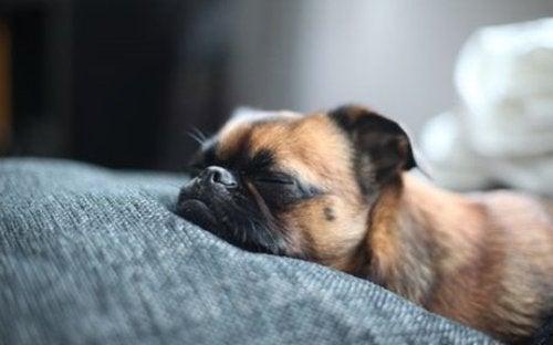 Śpiący pies - faza REM