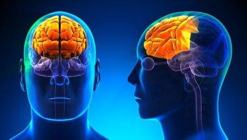 Trójjedyny mózg - kora przedczołowa