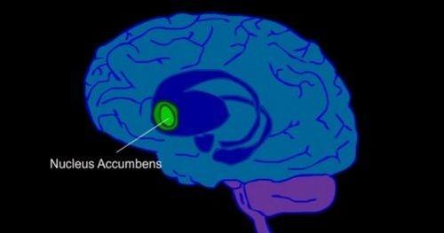 jądro pólleżące w mózgu człowieka