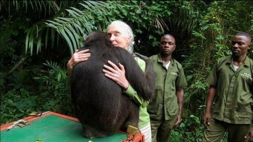 Jane Goodall w uścisku z gorylem