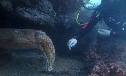 Ośmiornica spotkana podczas nurkowania