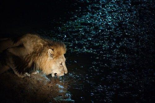 Lew pijący wodę