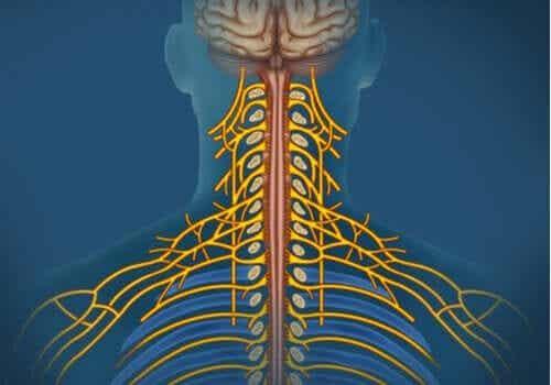 Somatyczny układ nerwowy: charakterystyka i funkcje