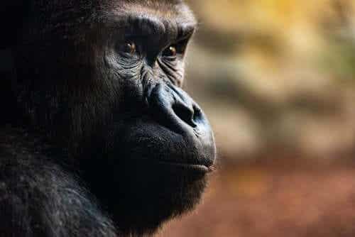 Goryle i ich obrzędy pogrzebowe - poznaj bliżej te fascynujące zwierzęta!