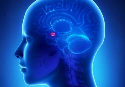 Jądro migdałowate w mózgu i jego związek z lękiem