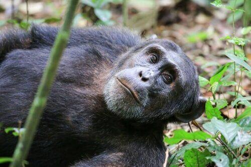 Dorosły szympans