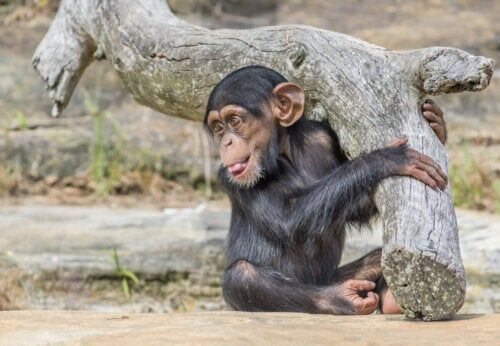 Młody szympans