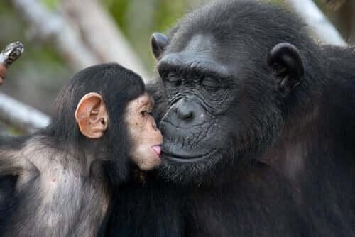 Szympansica z młodym