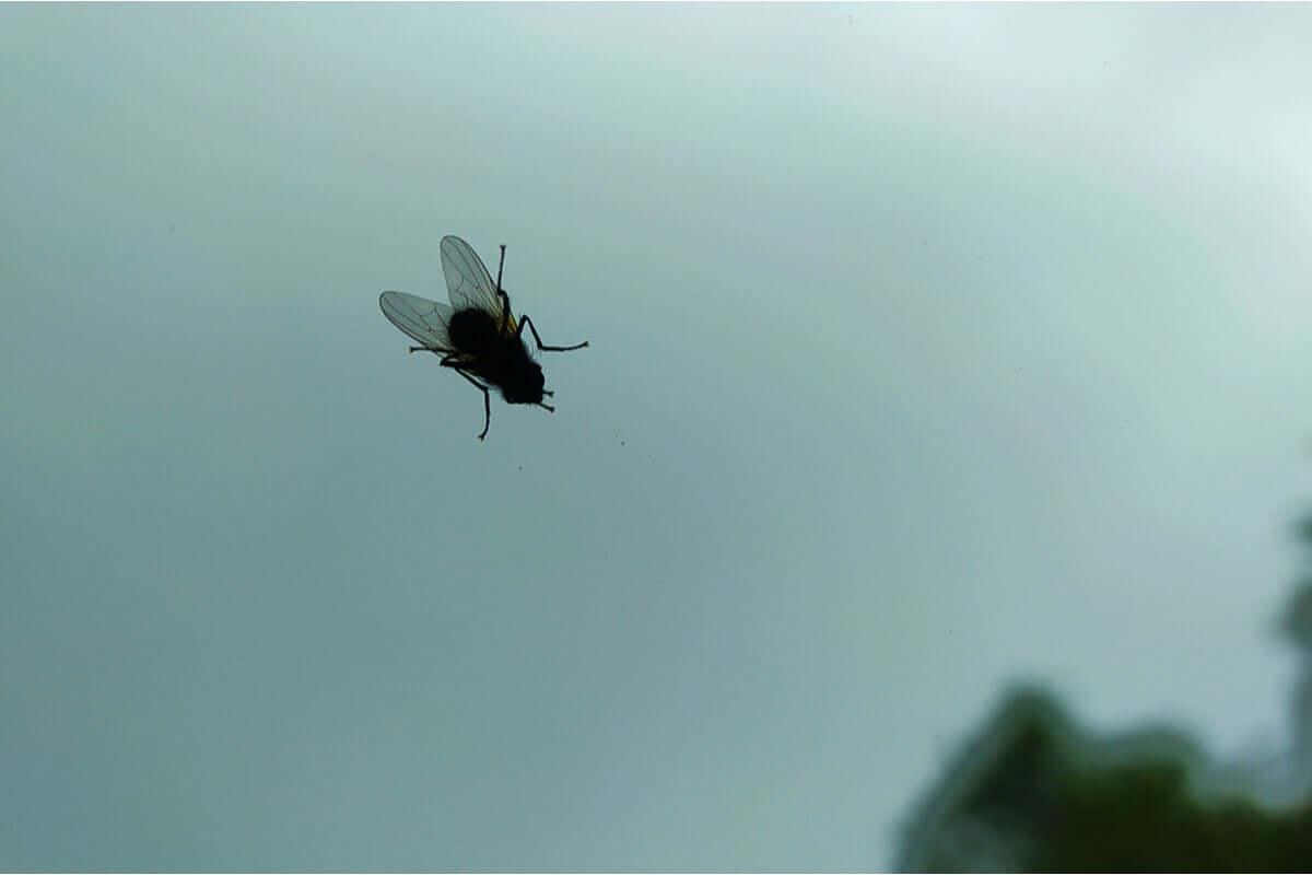 Mucha na szybie