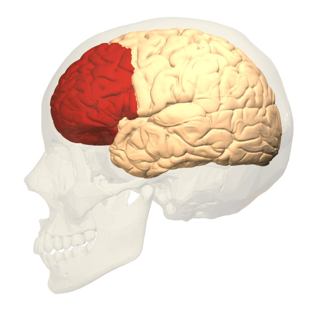 Płat czołowy mózgu