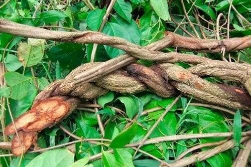 Ayahuasca: poznaj mity i fakty na temat tej rośliny!