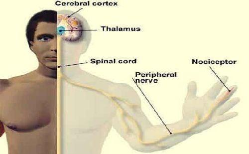 Schemat nerwów